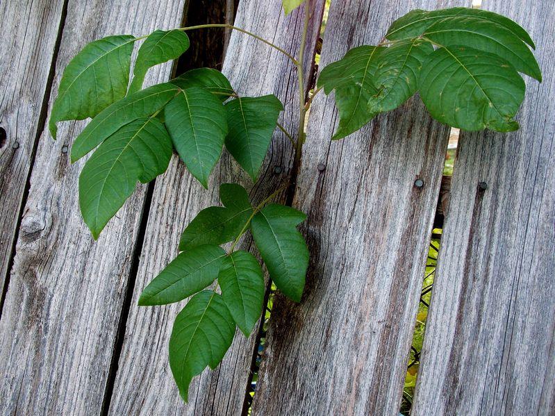 Poison Ivy Immunity Hypnosis Invitation